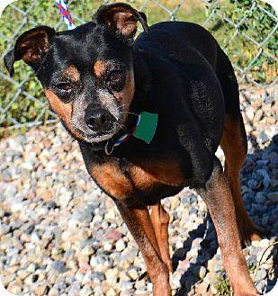 Miniature Pinscher Mix Dog for adoption in Fruit Heights, Utah - Zeus
