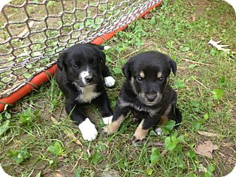 Collie/Golden Retriever Mix Puppy for adoption in CHICAGO, Illinois - Summer