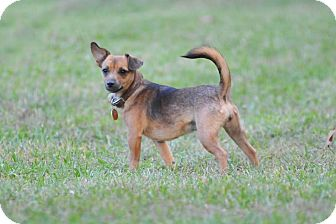 Chihuahua Mix Puppy for adoption in Houston, Texas - Nugget
