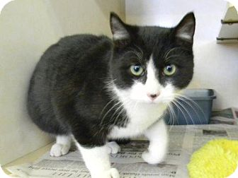 American Shorthair Cat for adoption in Tyner, North Carolina - Lucky