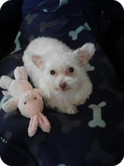 Poodle (Miniature)/Maltese Mix Dog for adoption in Beachwood, Ohio - Dixie_Special Needs