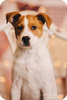 Australian Cattle Dog Mix Puppy for adoption in Portland, Oregon - PeeWee