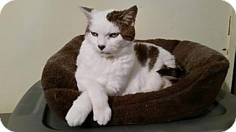 Domestic Shorthair Cat for adoption in Toronto, Ontario - Maggie *declawed*