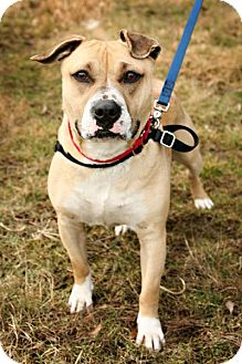 Terrier (Unknown Type, Medium)/Staffordshire Bull Terrier Mix Dog for adoption in Bellingham, Washington - Daisy