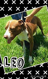 American Staffordshire Terrier Dog for adoption in Sebring, Florida - Leo