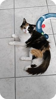 Domestic Longhair Cat for adoption in Austintown, Ohio - Leah