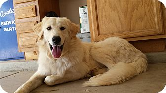 Kuvasz/Great Pyrenees Mix Dog for adoption in Scottsdale, Arizona - Diana