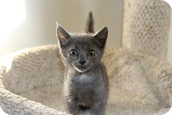 Domestic Shorthair Kitten for adoption in Greensboro, North Carolina - Charl