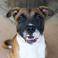 Pug/Boxer Mix Dog for adoption in Charlotte, North Carolina - Brownie