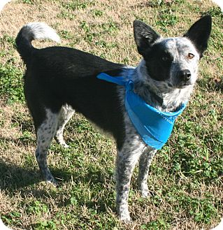 Cattle Dog Mix Dog for adoption in Pilot Point, Texas - Levi