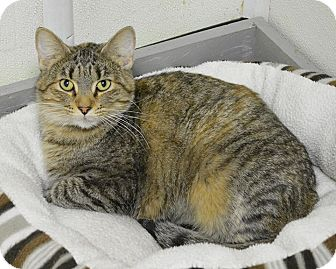 Domestic Shorthair Cat for adoption in Springfield, Illinois - Ellie
