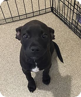 Chihuahua Mix Puppy for adoption in Peace Dale, Rhode Island - Sparrow