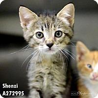 Adopt A Pet :: SHENZI - Conroe, TX