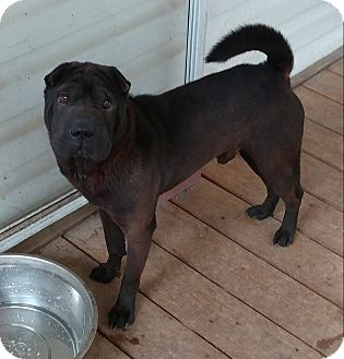 Shar Pei Dog for adoption in Apple Valley, California - Tiny Tim in NC - pending