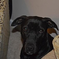 American Pit Bull Terrier/Labrador Retriever Mix Dog for adoption in Fulton, Missouri - Storm - Missouri