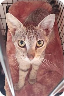 Abyssinian Cat for adoption in New Smyrna Beach, Florida - Sandy