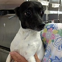 Adopt A Pet :: Angelina Gentle Companion Pup Looking for a Lap - Rowayton, CT