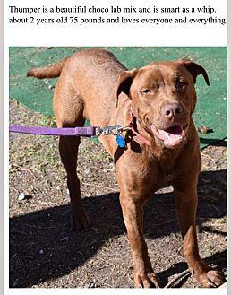 Labrador Retriever Mix Dog for adoption in Fort Wayne, Indiana - Thumper