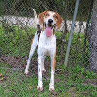 Treeing Walker Coonhound Mix Dog for adoption in Covington, Louisiana - Johnny Walker