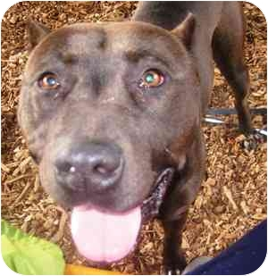 American Pit Bull Terrier Mix Dog for adoption in Berkeley, California - Lena