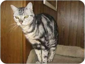 American Shorthair Cat for adoption in Davis, California - Barkley