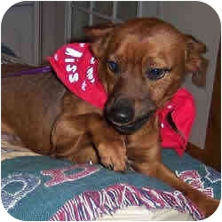 Miniature Pinscher Mix Dog for adoption in Greensboro, North Carolina - Eddie