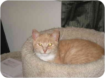 Domestic Shorthair Cat for adoption in Loveland, Colorado - Princess Buttercup