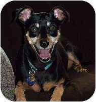 Miniature Pinscher Dog for adoption in Appleton, Wisconsin - Barley