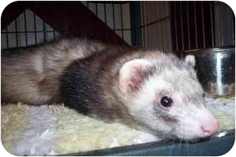 Ferret for adoption in North Charleston, South Carolina - Clyde