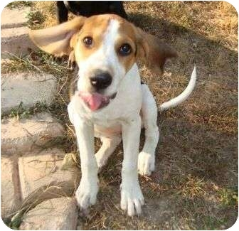 Treeing Walker Coonhound/Beagle Mix Puppy for adoption in Plainfield, Connecticut - Daisy Loo