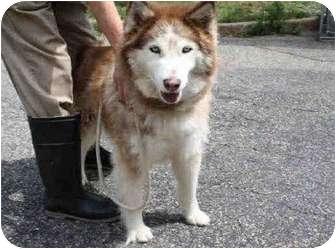 Siberian Husky/Husky Mix Dog for adoption in Huntington Station, New York - Sandy