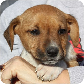 Terrier (Unknown Type, Medium) Mix Puppy for adoption in Marion, Arkansas - Andy-PENDING