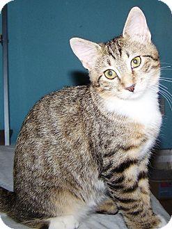 Domestic Shorthair Cat for adoption in Las Vegas, Nevada - Bryanne