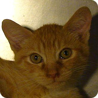 Domestic Shorthair Kitten for adoption in El Cajon, California - Dante