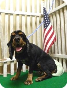 Cocker Spaniel Mix Dog for adoption in Columbus, Nebraska - Corky