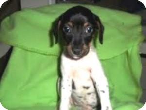 Terrier (Unknown Type, Small) Mix Puppy for adoption in Bartonsville, Pennsylvania - MARIETTA
