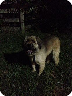 Wheaten Terrier Mix Dog for adoption in Lexington, Kentucky - Bouncer