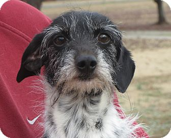 Dachshund Mix Dog for adoption in Greenville, Rhode Island - Pete
