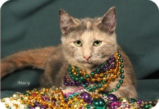 Domestic Shorthair Cat for adoption in Kerrville, Texas - Macy