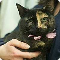 Domestic Shorthair Cat for adoption in New York, New York - Picasso