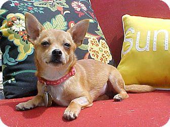 Chihuahua Mix Puppy for adoption in Dahlgren, Virginia - Juju - 6 lbs