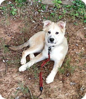 Shepherd (Unknown Type) Mix Puppy for adoption in Marietta, Georgia - Stanley