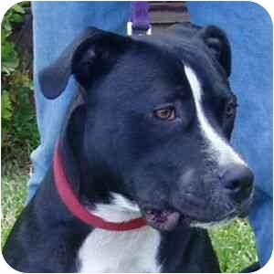 American Pit Bull Terrier Mix Dog for adoption in Berkeley, California - Sparky