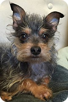 """Yorkie, Yorkshire Terrier/Toy Poodle Mix Dog for adoption in Seattle, Washington - """"Finnigan"""""""