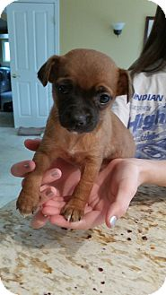 Pug/Dachshund Mix Puppy for adoption in Thousand Oaks, California - Moondoggie