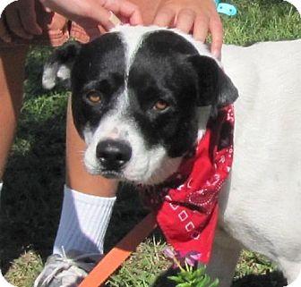 American Bulldog Mix Dog for adoption in Port St. Joe, Florida - Boris