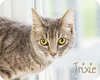 Domestic Shorthair Cat for adoption in Somerset, Pennsylvania - Trixie