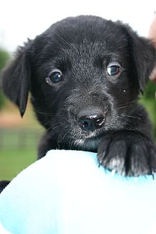 Golden Retriever Mix Puppy for adoption in Knoxville, Tennessee - Blue