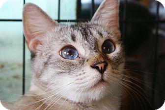 Siamese Cat for adoption in Arcadia, California - Theo
