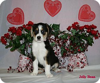 Australian Shepherd/Golden Retriever Mix Puppy for adoption in Green Cove Springs, Florida - Jelly Bean